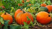 Pumpkin Fair
