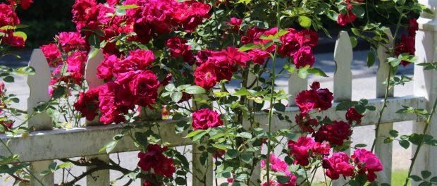 Rose bush in garden