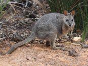 Macropus eugenii (Tammar Wallaby) Photo credit: Arthur Chapman