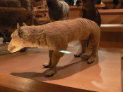 Thylacine Tasmanian Tiger