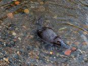 Platypus swimming Maria Grist, CC BY-SA 4.0 , via Wikimedia Commons